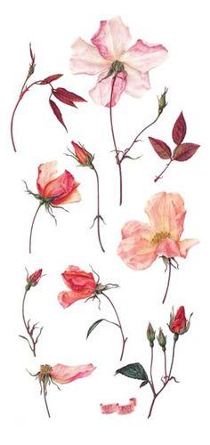 Rosa mutabilis, watercolour by Susan Christopher-Coulson