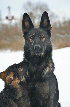 Gorgeous Dark Sable German Shepherd & Puppy