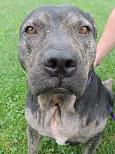 7 / 30   ***HAS SKIN ISSUES*** Petango.com – Meet Adler, a Terrier, Pit Bull / Mix available for adoption in ANDERSON, IN Address  613 Dewey Street, ANDERSON, IN, 46016  Phone  (765) 356-0900  Website  http://www.petango.com/shelter s/1058  Email  kwilson1236@gmail.com.com