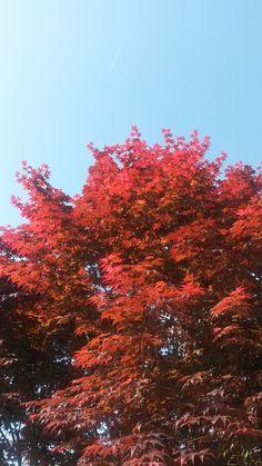 Spring - Japanese Maple