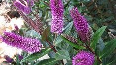 Atraktivní fialové květy upoutají na první pohled How To Attract Birds, How To Attract Hummingbirds, Hosta Blue Angel, Hosta Guacamole, Hibiscus Bush, Heather Plant, Courtyards, Plants