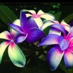 Plumeria. One of the world's most fragrant flowers
