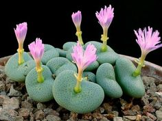 Conophytum wettsteinii (Cone Plants) is a small succulent with a broad top, up to 1 inch cm) across, and narrowed base. Growing Succulents, Cacti And Succulents, Planting Succulents, Cactus Plants, Planting Flowers, Indoor Cactus, Cactus Art, Weird Plants, Unusual Plants