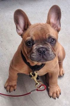 """Click visit site and Check out Best Frenchie Shirts. This website is superb. Tip: You can search """"your first name"""" or """"your favorite shirts"""" at search bar on the top. #Abyssinian #Cat"""