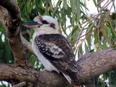 Kookaburras (genus Dacelo) are terrestrial tree kingfishers native to Australia and New Guinea, which grow to between 28–42cm (11–17in) in length. The name is a loanword from Wiradjuri guuguubarr...
