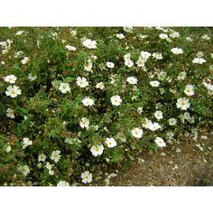 Cistus 'Little Miss Sunshine' - groundcover - shrub