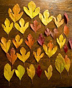 Sassafras Leaf Identification   Sassafras leaves