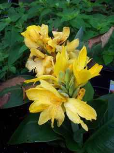 This is my tall tree like bush with yellow flowers that i am unable my yellow cannas mightylinksfo