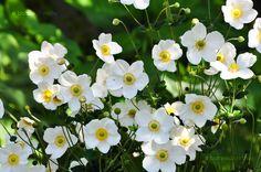 Japán Szellőrózsa (Anemone Japonica) gondozása, szaporítása A 17, Wedding Flowers, Home And Garden, Nature, Plants, Image, Yard, Gardening, Naturaleza