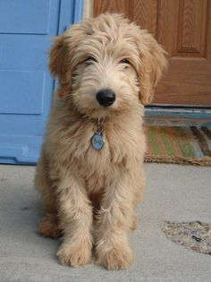 I want this dog.  For the home of course!  So cute!  Love love love.  My Daughter and her little family have a have a MiniGoldendoodle.