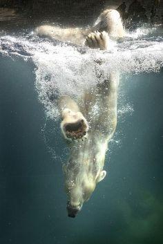 Polar Bears - Beautiful photography and drawings - arctic - Alaska - north Pole - Canada