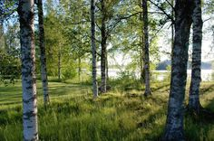 Sweden birch trees & innumerous lakes
