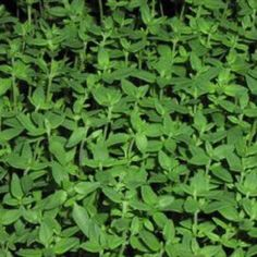 Distinctly sweeter than other varieties of Thyme, our two live plants of French Thyme is used in a wide variety of culinary dishes and its compact size makes it great for containers and herb gardens.