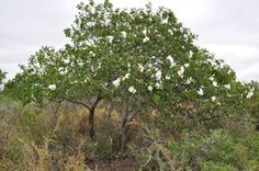 anacahuita tree in the time of the butterflies essay
