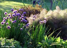 drift of pretty chives