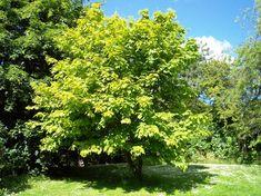 El árbol de arce, una planta perfecta para dar sombra a tu jardín - https://www.jardineriaon.com/caracteristicas-y-cuidados-del-arbol-de-arce.html #plantas