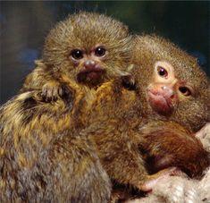 Pygmy Marmoset: Cutest Animal Ever? Funny Baby Gif, Funny Babies, Cute Babies, Cute Baby Animals, Funny Animals, Pygmy Marmoset, Monkey See Monkey Do, Baby Voice, Primates