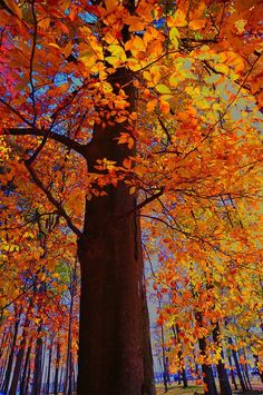 In the autumn photography the camera angle looks up a long tree trunk into a canopy of colorful autumn leaves. Fall Pictures, Fall Photos, Nature Photos, Autumn Scenes, Autumn Photography, Tree Tops, Thats The Way, Science And Nature, Beautiful Landscapes
