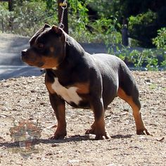 American bully I think this is going to be our new dog