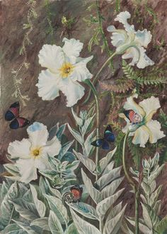 67. Flannel Flower of Casa Branca and Butterflies, Brazil. botanical print by Marianne North