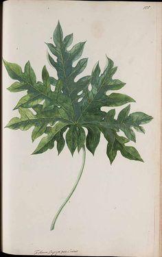 272815 Carica papaya L. / Witsen, N., Jager, H. de, Plantae Javanicae pictae, ex Java transmissae anno MDCC, t. 155 (1700) [H. de Jager]