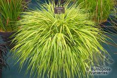 Buy Hakonechloa Macra 'Albo-Aurea' plants from Burncoose Nurseries