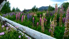 Riotous Lupines by the side of the road