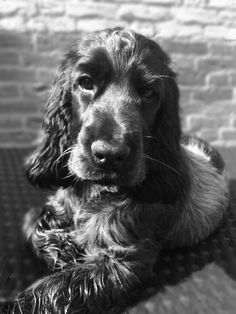 English Cocker Spaniel Pup