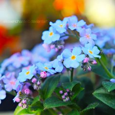 .my favorites!  Forget me nots