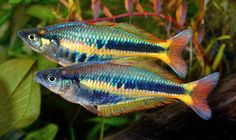 Steve Waldron's planted rainbowfish aquarium comes alive with Chilatherina alleni territorial displays. Steve asks the collector of these rare ra Tropical Aquarium, Saltwater Aquarium, Tropical Fish, Tropical Freshwater Fish, Freshwater Aquarium Fish, Fish Aquariums, Australian Rainbow Fish, Koi, Fishing World