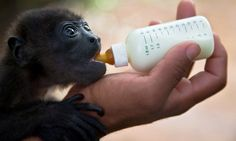 A two month-old Black Howler Monkey named Gael by the zoo staff, is nursed in the Rescue Center at a National Zoo of Managua, Nicaragua, Sunday, May, 24, 2015. The monkey was rescued by hunters before being brought to the center...