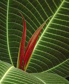 ~~Red Green Leaf Taken by pedro lastra~~