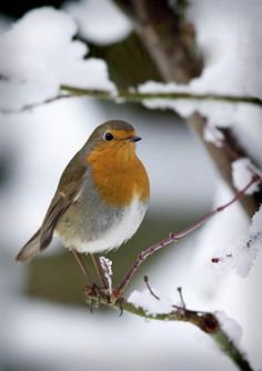 Why the robin on our Christmas cards? In Victorian times post was delivered by workers in red jackets. They became nicknamed 'Redbreasts'. So as the greetings card became more popular, the robin represented the postman!