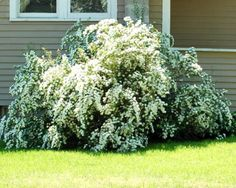 Pictures of Flowering Shrubs: Flowering Shrubs: Vanhoutte Spirea