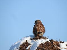Pustułka Common kestrel (Falco tinnunculus) Kestrel, Wordpress, Owl, Bird, Animals, Fotografia, Animales, Animaux, Owls