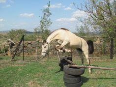 #Pale #Buckskin #Horse #Jumping #Mare