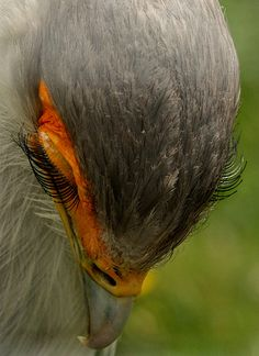 Eyelashes of a Secretary Bird.... OMG!!! Look at those lashes! ... Wish I had pretty lashes like this ... :)