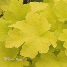 'Citronelle'  Coral Bells to brighten up a shady area