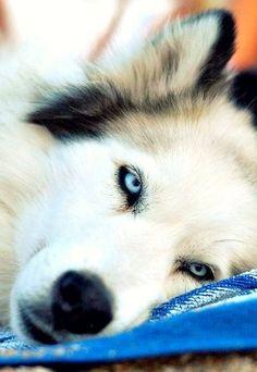 chasingrainbowsforever:Siberian Husky  ♥