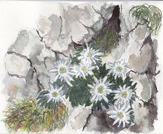 Edelweiss - WetCanvas