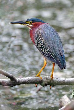 Green Heron. Héron vert. (Butorides virescens). Il est plutot petit, 40 cm de hat. Il est   plus actif au crépuscule et à l'aube, lorsqu'il se repait de petits poissons, de grenouilles et d'insectes aquatiques.
