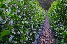 Ilex x altaclerensis 'Henderson' Living Walls™ Valley Nursery, Nurseries, Hedges, Plants, Babies Rooms, Child Room, Living Fence, Plant, Babies Nursery