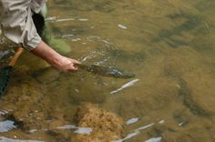 Soltando una #trucha en el río #Ebro, después de un buen día de #pesca.
