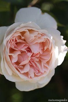 'Sébastian Kneipp' Rose
