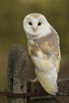 Tyto alba - płomykówka (zwyczajna) - Common Barn Owl