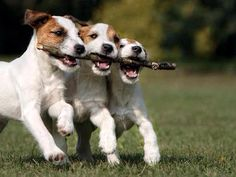 Teamwork! - Jack Russell Puppies