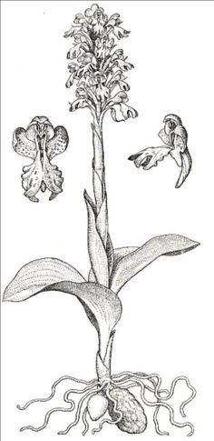 dibujos de orquidea - Buscar con Google