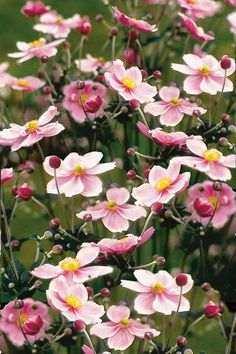 Anemone hupehensis (Japanese Anemone) one of my favorite fall flowers! Herbaceous Border, Herbaceous Perennials, Pink Perennials, Garden Art, Garden Plants, Garden Design, Fall Flowers, Beautiful Flowers, Pink Flowers