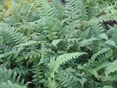 Polystichum aculeatum Shade Garden, Photo Credit, Nursery, Bed, Plants, Products, Stream Bed, Baby Room, Child Room