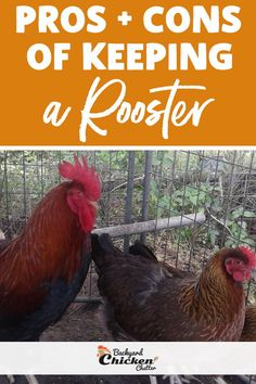What are the pros and cons of having a rooster in the flock? There are always two sides to the story regarding roosters. The good and the bad stories. Chicken Saddle, Pecking Order, Organic Eggs, Colorful Feathers, Baby Chicks, Raising Chickens, Roosters, Chickens Backyard, Coops
